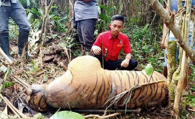Harimau sumatra mati