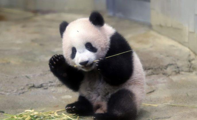 Panda xiang xiang